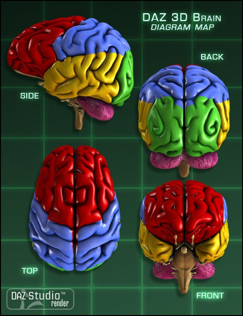 Human brain pictures with labels