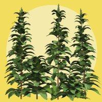 Amaranthus retroflexus DR