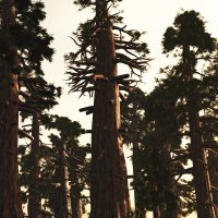 Sequoiadendron DR