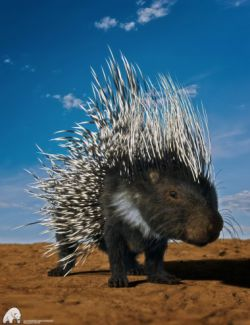 Rodents by AM: Crested Porcupine