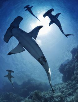 Sharks by AM: Hammerhead