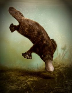 Platypus by AM