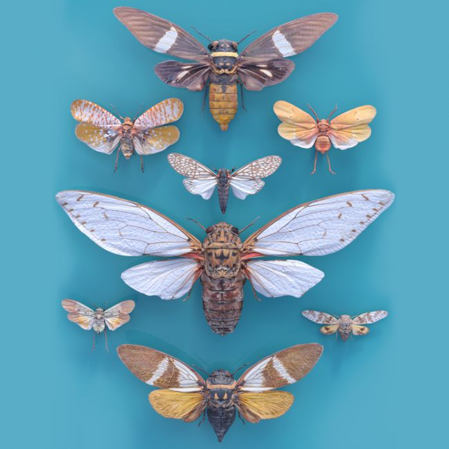Cicada Collection