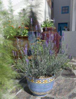 Garden Flowers- Lavender Bushes