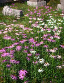 Garden Flowers- Cone Flowers
