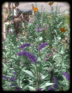 Buddleia- Butterfly Bushes