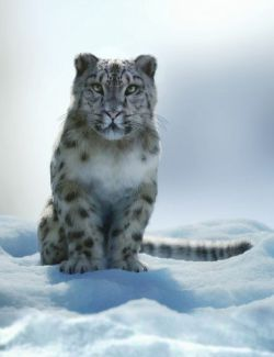 Felidae by AM - Snow Leopard