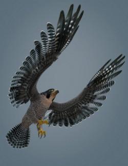 Peregrine Falcon for Deepsea's Eagle