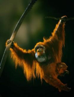 Anthropomorphs- Orangutan for Genesis 8 Male
