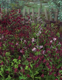 Garden Flowers- Low Res Nicotiana Plants