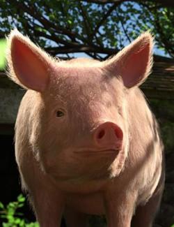 LoREZ Pig 2