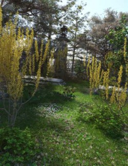 Spring Flowering Shrubs - Golden Forsythia