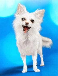 Chihuahua for Daz Dog 8: Brutus