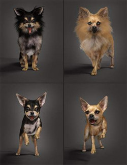 Chihuahua for Daz Dog 8: Penelope and Zorro Add-on